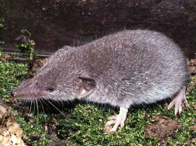Gartenspitzmaus (<i>Crocidura suaveolens</i>) by Simon J. Tonge (CalPhotos, CC BY 3.0)