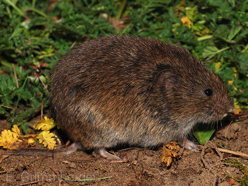 Sumpfmaus (Microtus oeconomus) by E. Grimmberger