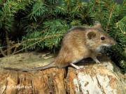 Echte Mäuse Und Ratten Kleinsaeugerat