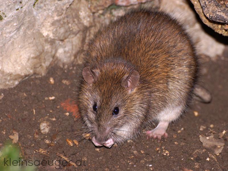 Wanderratte Rattus Norvegicus Kleinsaeugerat